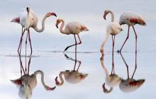 Flamingo wallpaper - Birds