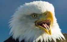 Bald eagle wallpaper - Eagles