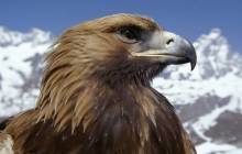 Golden Eagle wallpaper - Eagles