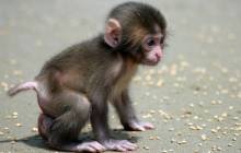 Baby monkey wallpaper - Monkeys