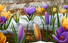 Spring flowers under the snow